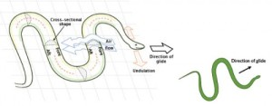 Schematic illustration of a snake's flying mechanisms. Image from the NVIDIA blog.